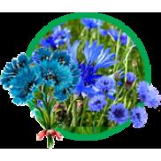 Калина: український символ та цілюща рослина